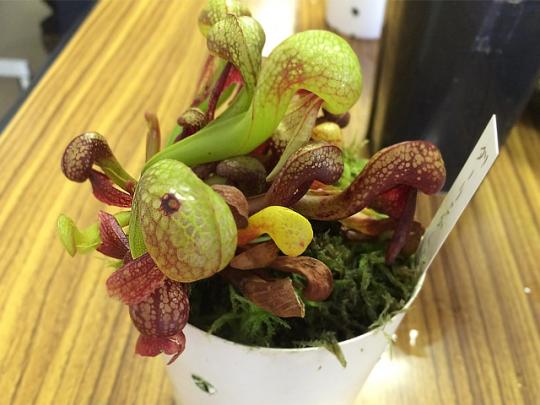 【CHINTAI情報局】簡単に育てられる「キモカワイイ」食虫植物4選