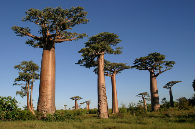 高さは最大で約22m、ビル5階分相当まで成長するといわれるバオバブ