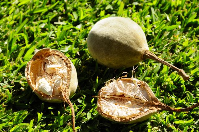 若い状態の緑の実は抗菌効果が強すぎるため、食べられるのは完全に乾燥したものだけだとか
