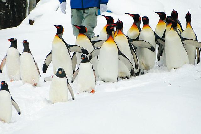 ペンギンの散歩などの行動展示が旭山動物園の人気のポイント