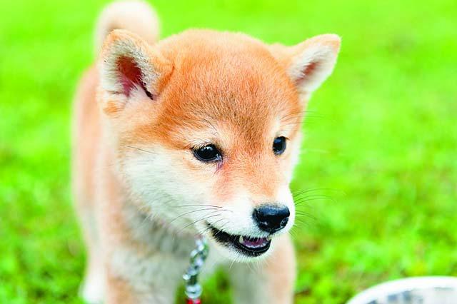愛くるしい顔つきの柴犬の赤ちゃん、ももちゃん