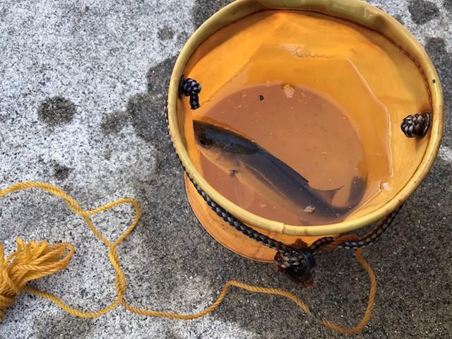 この日出会ったアングラーはセイゴ(スズキの1歳魚)を釣り上げていた