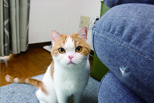 布製の家具は素材選びが鍵。猫たちの爪とぎ場所が限られているので傷もつかない|【猫と暮らす】賃貸でスコティッシュフォールド6匹! 狭くても猫アレルギーでも快適