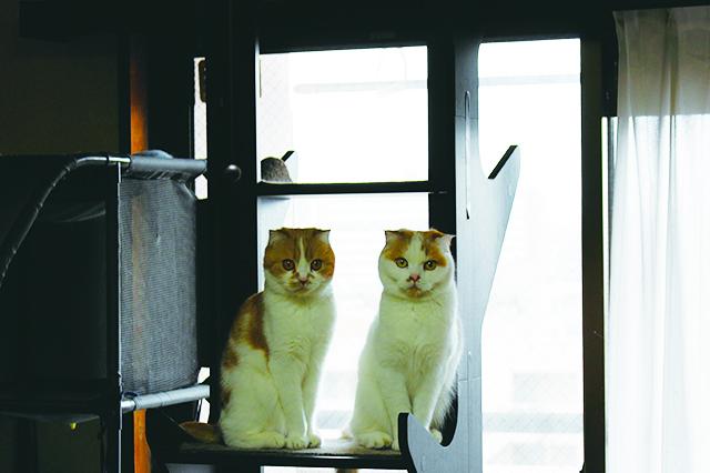 窓から鳥が見えると猫たちは一斉に注目するそう。「少しでも退屈しのぎになれば」と窓際にキャットタワーを設置|【猫と暮らす】賃貸でスコティッシュフォールド6匹! 狭くても猫アレルギーでも快適