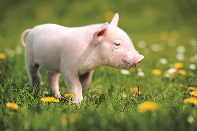 人懐っこくてかわいい!意外と飼いやすいキュートな動物|一人暮らしでも飼いやすいおすすめのペット・ミニブタ