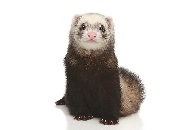 ふわふわな毛をまとったキュートな動物!|一人暮らしでも飼いやすいおすすめのペット・フェレット