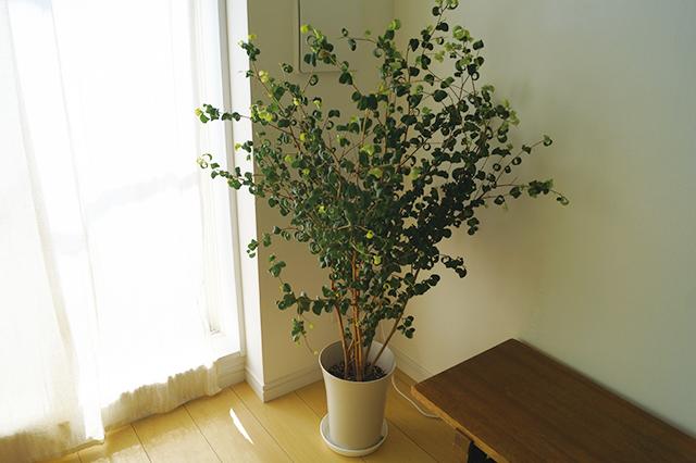 思い入れがあるという観葉植物「ベンジャミンバロック」。「愛知からどうしても連れてきたくって、梱包を工夫して連れてきました。この緑があるから、インテリアの小物も要らないのかな。5畳のミニマルルームを華やかにしてくれています」|インスタで人気!ミニマリストmamiさんに聞く断捨離のコツと快適な暮らしの持ち物とは