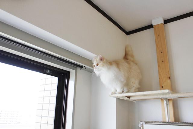 お気に入りのキャットタワーを行ったり来たり。窓辺でパトロールが猫の京介の日課|【猫との暮らし】人気ねこ・京介の飼い主に聞く!賃貸物件の選び方や長毛種の猫と暮らす工夫