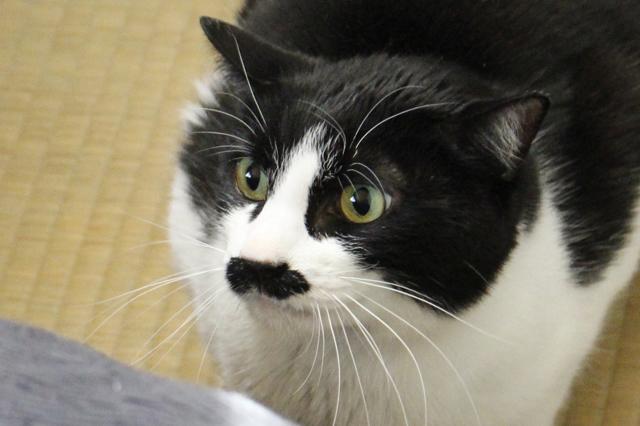 まるで口ひげを生やしたような模様のバロン。ハチワレのイケメンだ|【猫との暮らし】都心から練馬のメゾネット賃貸へ引っ越し。猫が吐かなくなった理由とは?