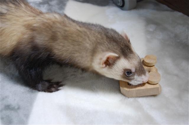 小さい体にクリッとした目がかわいい!狭い部屋でも飼育可能なので、一人暮らしにもってこいのペットだ|一人暮らしでも飼いやすいおすすめのペット・フェレット
