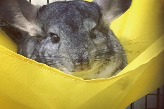 モフモフの毛がたまらん! ネズミ嫌いでも可愛がれること請け合い|一人暮らしでも飼いやすいおすすめのペット・チンチラ