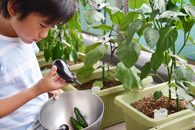 夏休みの自由研究として家庭菜園で育てた野菜を眺める子供