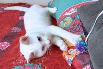 遊びに夢中の白猫