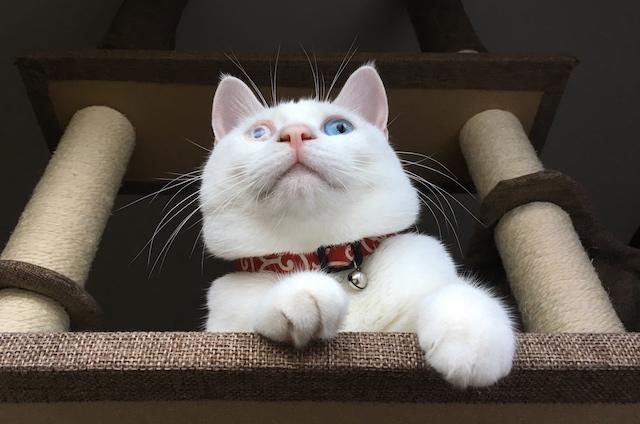 縄張りパトロールする白猫