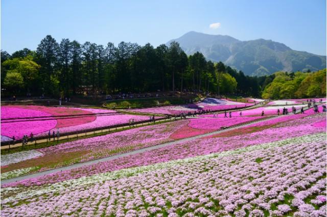 埼玉県のお出かけスポット:芝桜