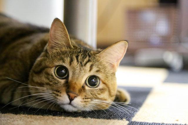 一人暮らしでも一緒に住みたいと訴えかけてくるネコ