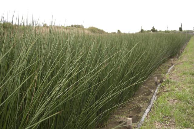 畳の原料となるい草にはさまざまな効果が