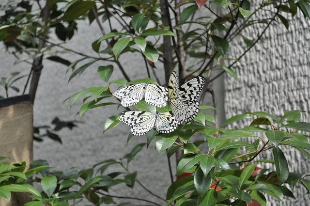 箕面公園昆虫館の蝶