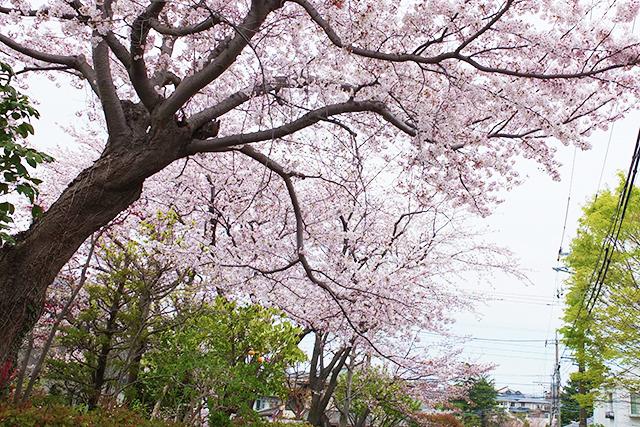 中央林間の桜