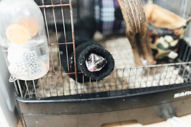 【モモンガとの暮らし】同棲中カップルの田中さんと小島さんが飼っているモモンガが靴下の中にもぐっている様子