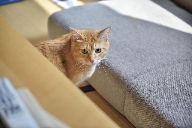 ペット可のメゾネット賃貸に住む鈴木ご夫妻の愛猫・きなこ