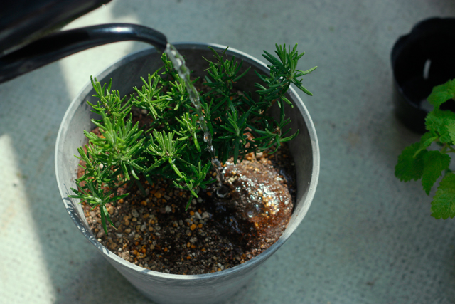 ハーブの寄植えの作り方:たっぷりの水をかけ、完成
