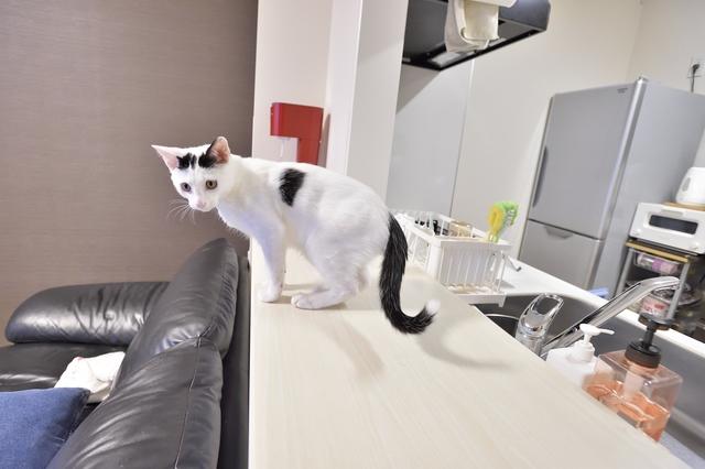 2LDKのペット可賃貸物件に住むSさんAさん家族の愛猫・百(もも)がキッチンカウンターにのぼる様子