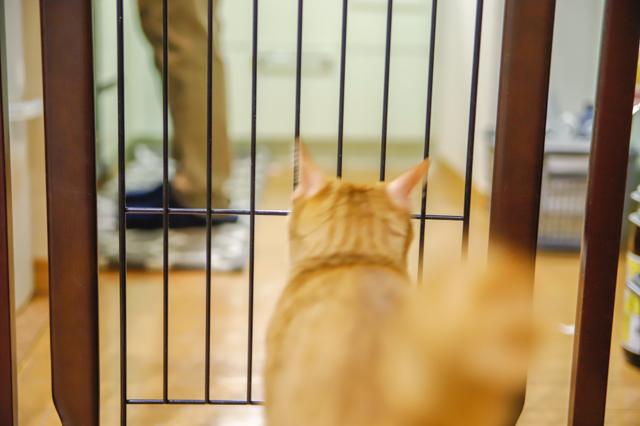 増税時代の救世主】「ミールキット」でおトクに外食気分!料理ベタでもおいしく作れるのか検証してみた! 料理をするYさんが飼っている猫