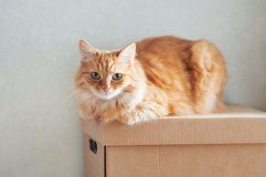 段ボールの上にふせる猫